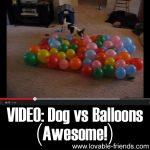 VIDEO: Dog vs Balloons