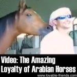 Video: The Incredible Loyalty of Arabian Horses